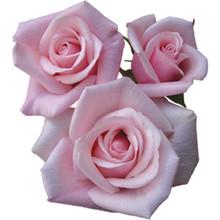 Sweetheart Rose-Valerie