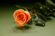 Rose-Orange Unique