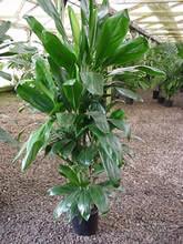 Green Ti Plant