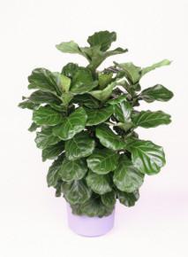 Ficus (Lyrata Bush)