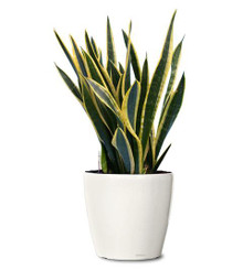 Sanseveria Black Gold