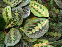 Maranta Red (Prayer Plant)
