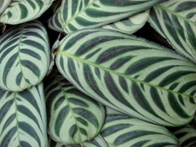 Green Maranta (Green Prayer)