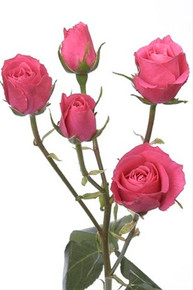 Spray Rose-Hot Pink Folies