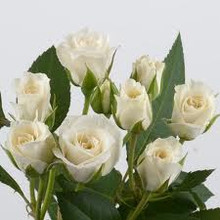 Spray Rose-Viviane