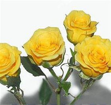 Spray Rose-Yellow Babe