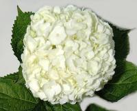 Hydrangea-White
