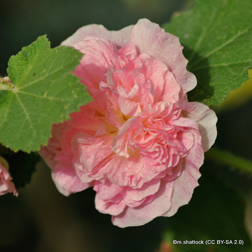 alcea-chaters-double-pink-sim-m.shattock-cc-by-sa-2.0-.jpg