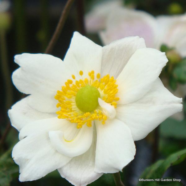 anemone-andrea-atkinson-.jpg