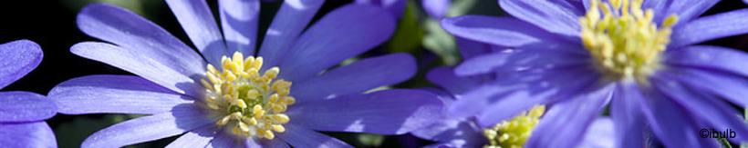 anemone-banner.jpg