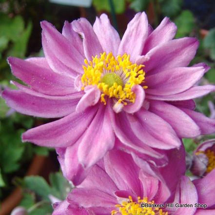 anemone-mont-rose-.jpg
