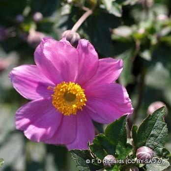 anemone-serenade-2-f.-d-richards-cc-by-sa-2.0-.jpg