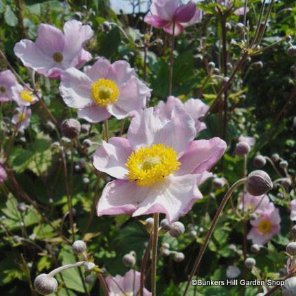 anemone-tormentosa-robustissima-.jpg