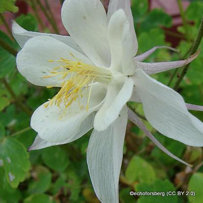 aquilegia-vulgaris-alba-echoforsberg-cc-by-2.0-.jpg