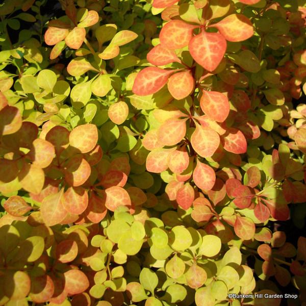 berberis-thumbergii-aurea-.jpg