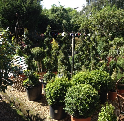 view of box topiary in the nursery