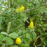 cytisus-battandieri2-sassy-gardener-cc-by-2.0-.jpg