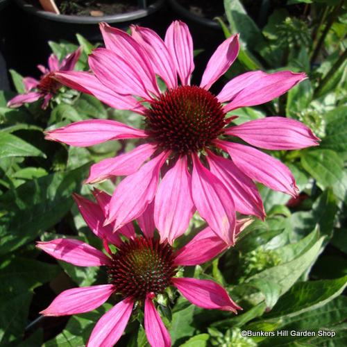 echinacea-magnus-bhgs.jpg