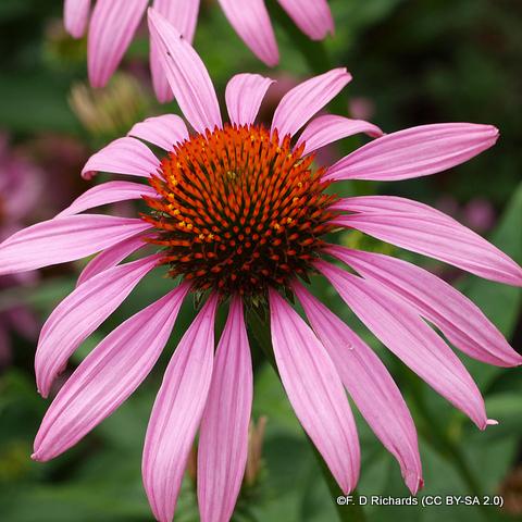 echinacea3-f.-d-richards-cc-by-sa-2.0-.jpg