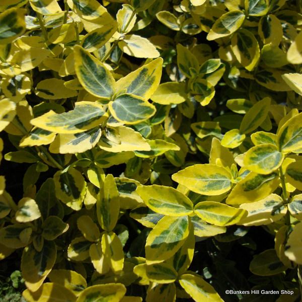 euonymus-fortuneii-emerald-n-gold-.jpg