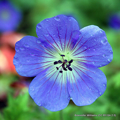 geranium-buxton-s-variety-sim-jennifer-williams-cc-by-sa-2.0-.jpg