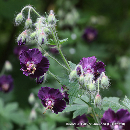 geranium-joost-j.-bakker-ijmuiden-cc-by-2.0-.jpg