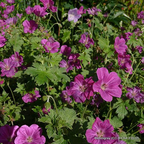 geranium-orkney-pink-sim-shimgray-cc-by-sa-2.0-2-.jpg