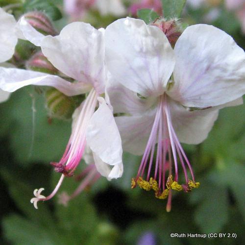 geranium-st-ola-sim-pic-ruth-hartnup-cc-by-2.0-.jpg