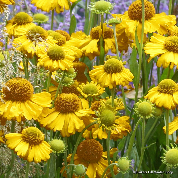 helenium-the-bishop-.jpg