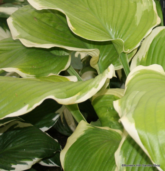 hosta-ground-master-sim-pic-.jpg