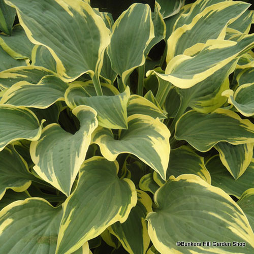 hosta-lacy-belle-.jpg