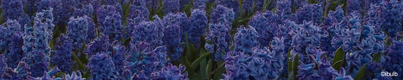 hyacinths-banner.jpg