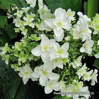 hydrangea-quercifolia-wallygrom-cc-by-sa-2.0-.jpg