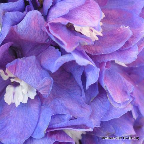 lilac-pink-miheco-cc-by-sa-2.0-.jpg