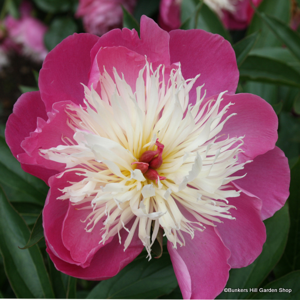 paeonia-bowl-of-beauty-3-.jpg