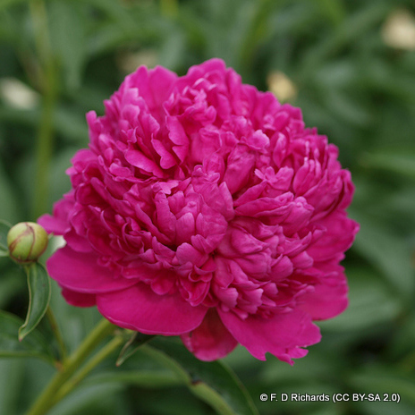 paeony-kansas-f.-d-richards-cc-by-sa-2.0-.jpg