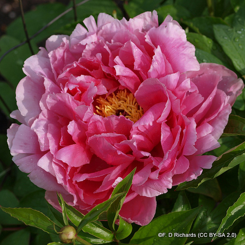 paeony-karl-rosenfield-f.-d-richards-cc-by-sa-2.0-.jpg
