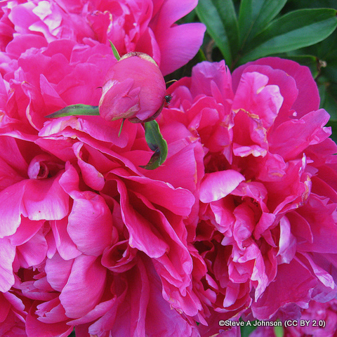 paeony-renato-steve-a-johnson-cc-by-2.0-.jpg