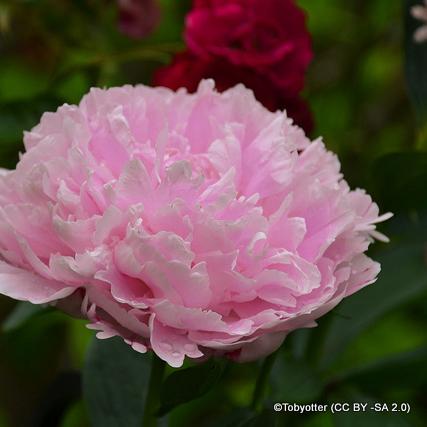 paeony-rosea-plena-tobyotter-cc-by-sa-2.0-.jpg