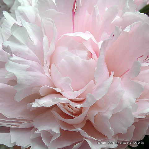 paeony-shirley-temple-patti-haskins-cc-by-sa-2.0-.jpg