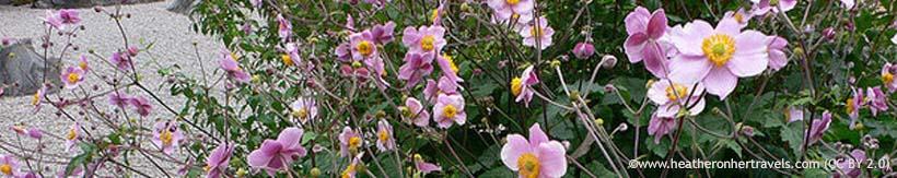 perennials-anemones-banner.jpg