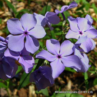 phlox-blue-boy-oakleyoriginals-cc-by-2.0-.jpg