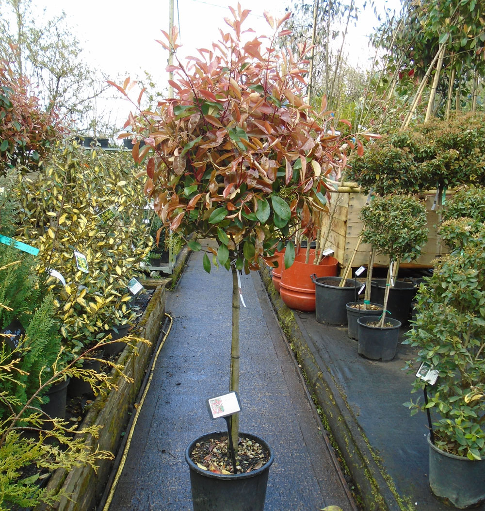 photinia-standard-95-small-image.jpg