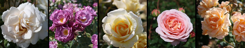 Examples of roses available in our nursery