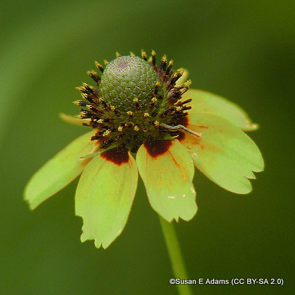 rudbeckia-green-wizard-susan-e-adams-cc-by-sa-2.0-.jpg