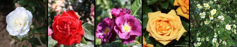 standard-rose-banner.jpg