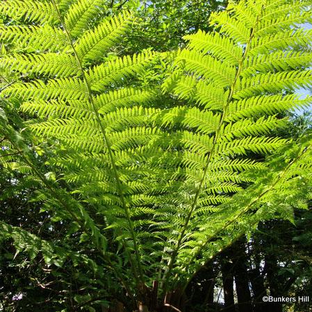 tree-fern-standard3-135.jpg