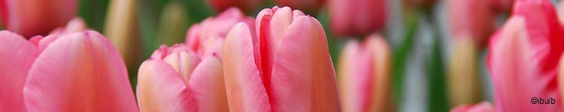 tulip-darwin-hybrid-banner.jpg