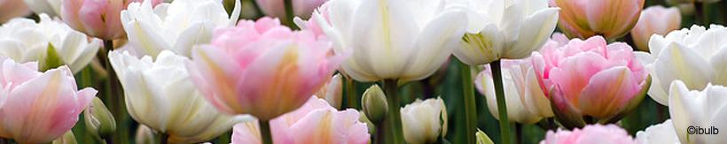 tulip-double-banner.jpg