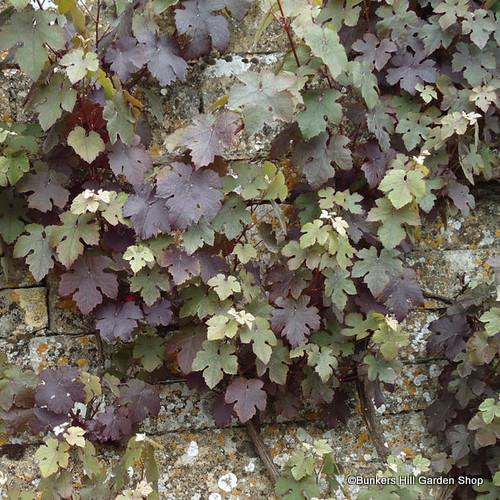 vitis-vinifera-purpurea-.jpg